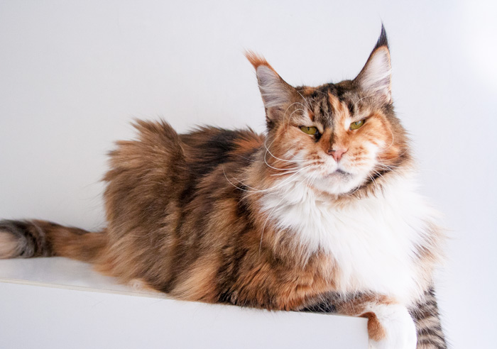 black tortie with white maine coon