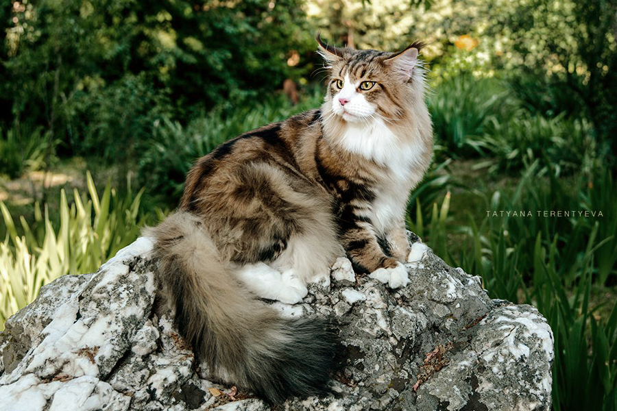 black_cl_tabby_mainecoon