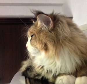 black_classic_tabby_maine_coon_profile