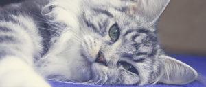 серебристая мраморная кошка