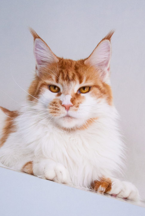red tabby white maine coon girl