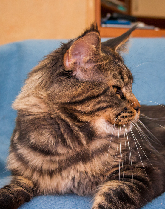 maine coon male black classic tabby