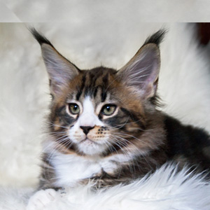 котенок мейн кун кот