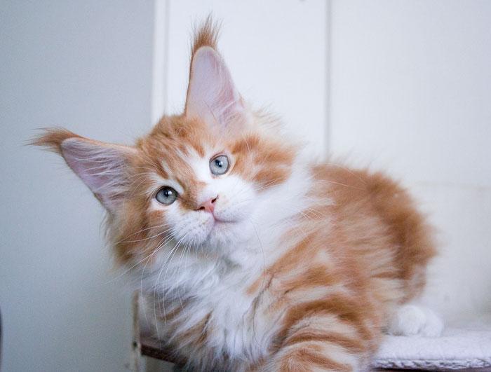 рыжий менй кун котенок