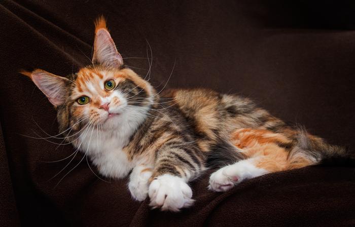 черепаховая кошка мейн кун