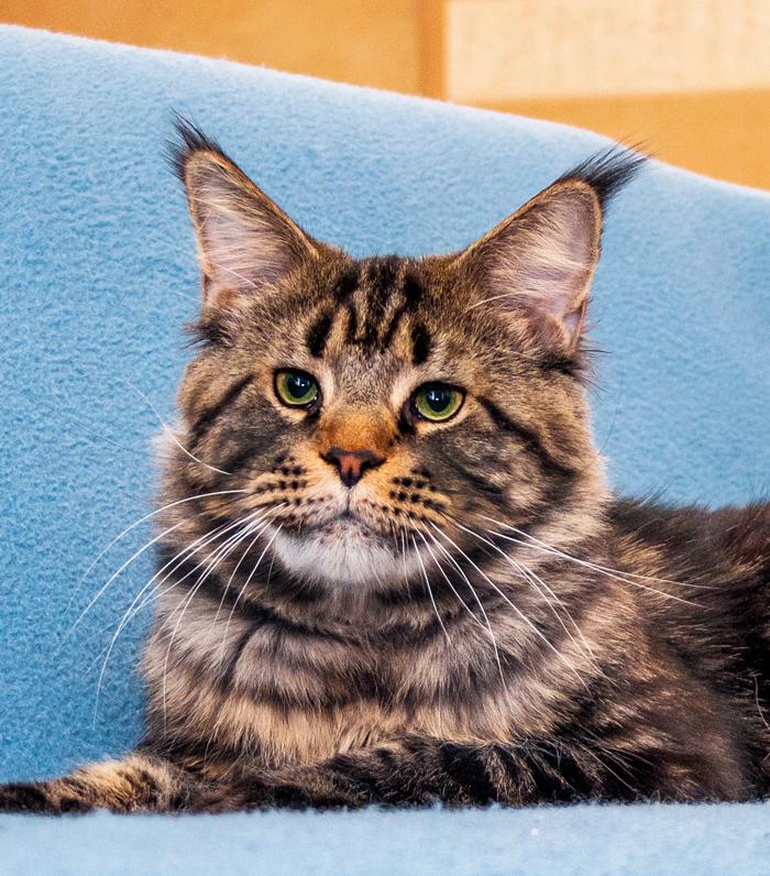 черный мраморнеый мейн кун кот