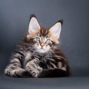 мейн кун фото котенок