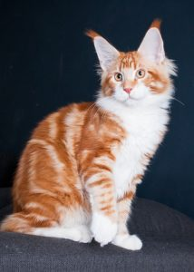 red classic tabby maine coon kitten