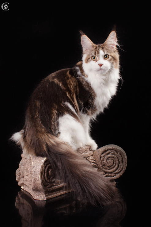 umbra maine coon