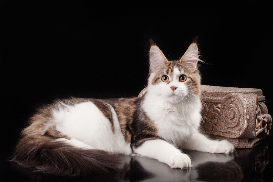 cuzzoe-umbra-of-mainemarie-maine-coon-cat