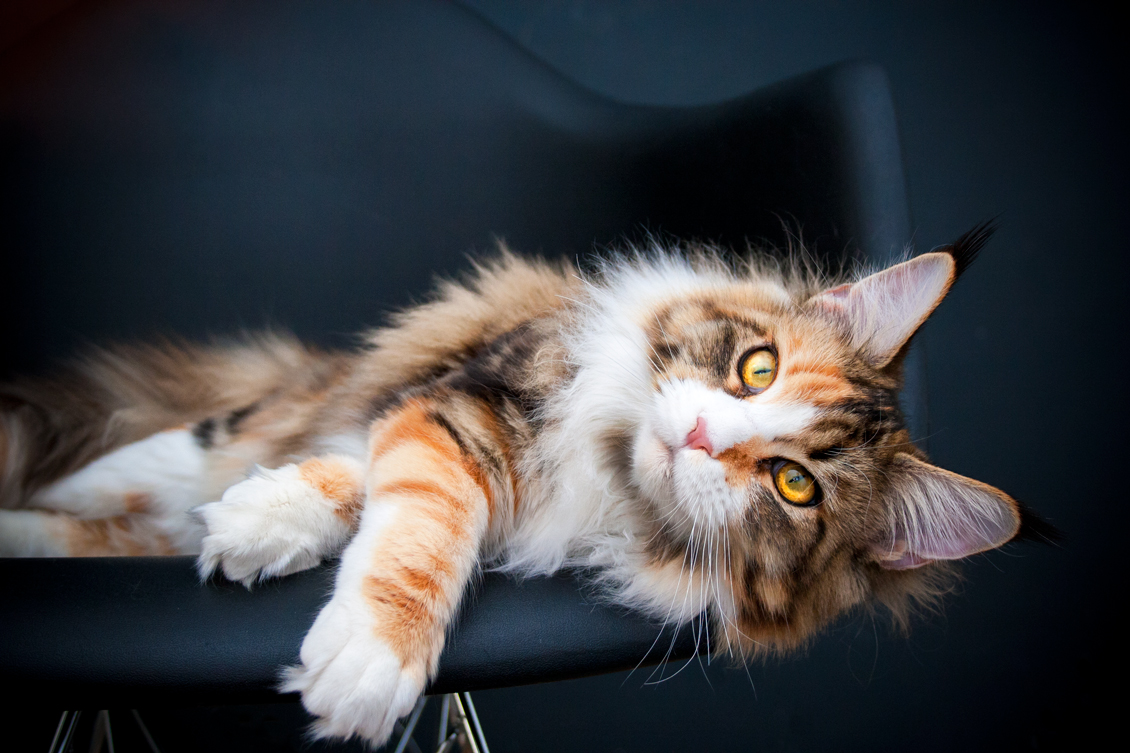 Mainemarie Truly maine coon