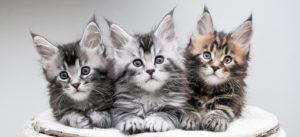 серебро котята мейн кун