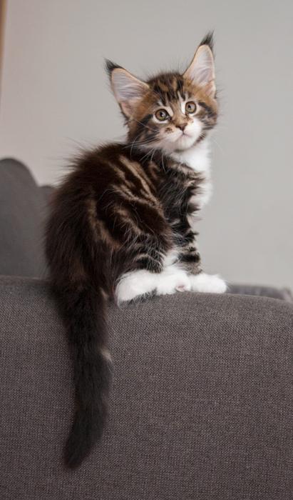 brown tabby maine coon kitten